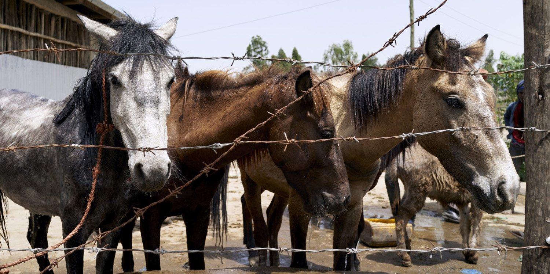 Equines in Ethiopia