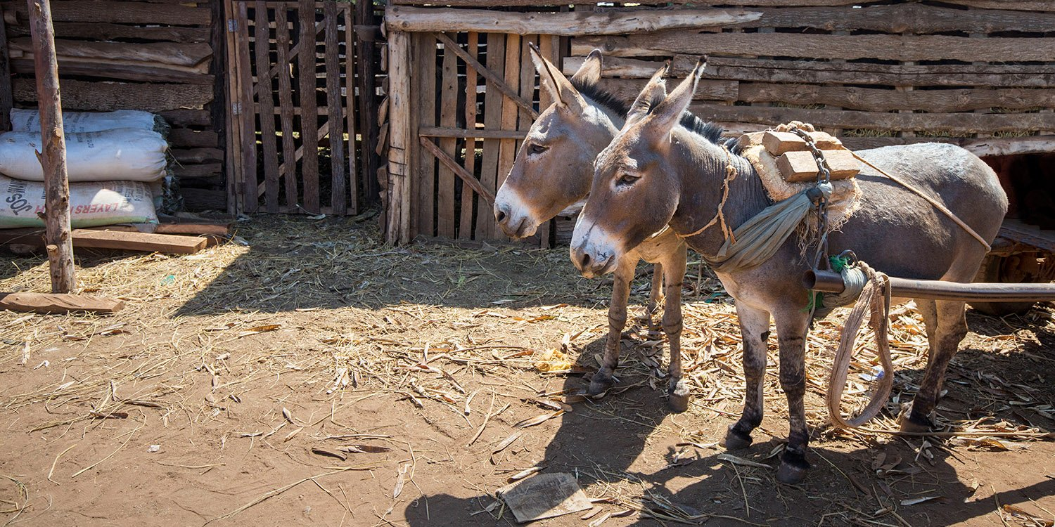Donkeys in Kenya