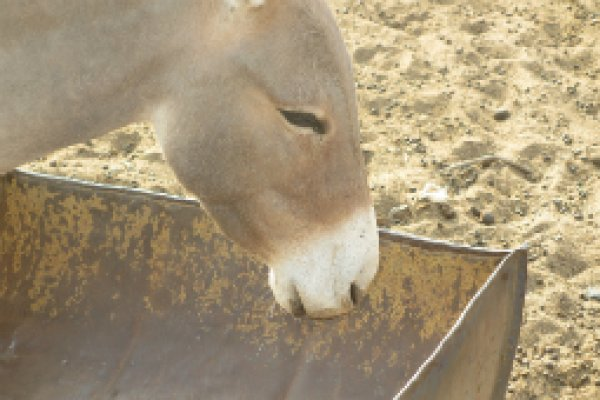 Donkey at empty water trough