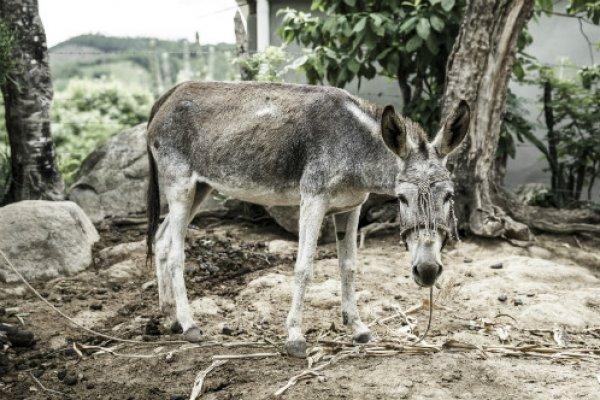 Donkey in Guatemala