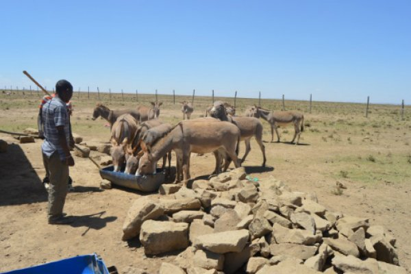 Donkeys allowed to access water in katakala, Narok