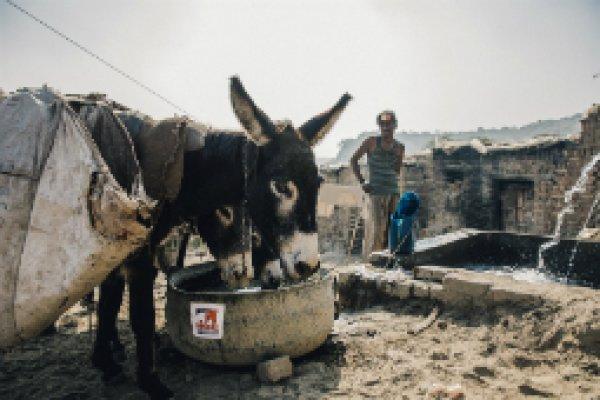 Donkeys drink from Brooke trough in Pakistan