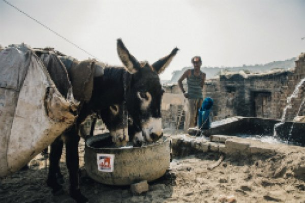 Donkeys drink from Brooke trough in Pakistan