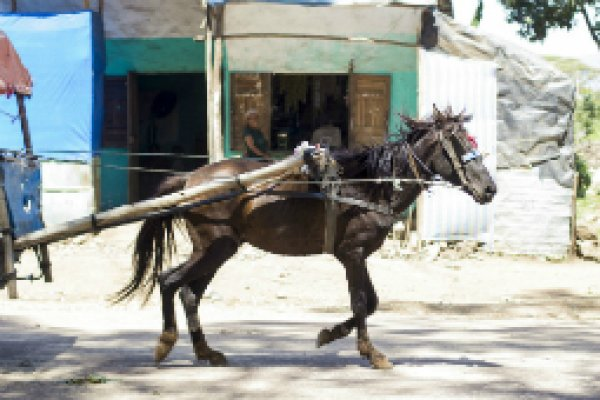 Ethiopia gharry horse