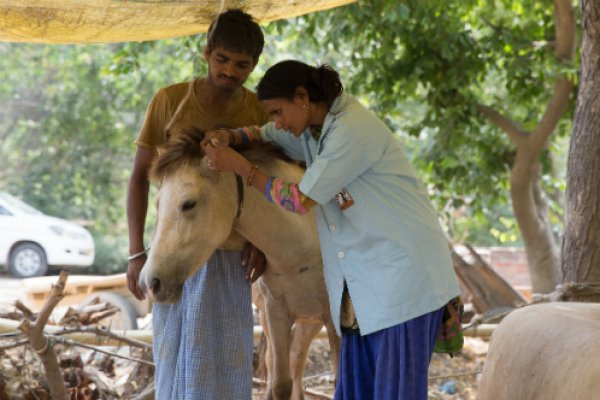 Horse being treated in India