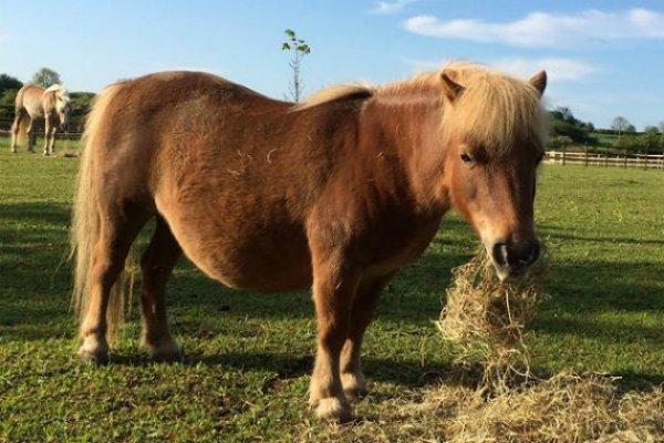 Miniature shetland pony Mini Fat Pony