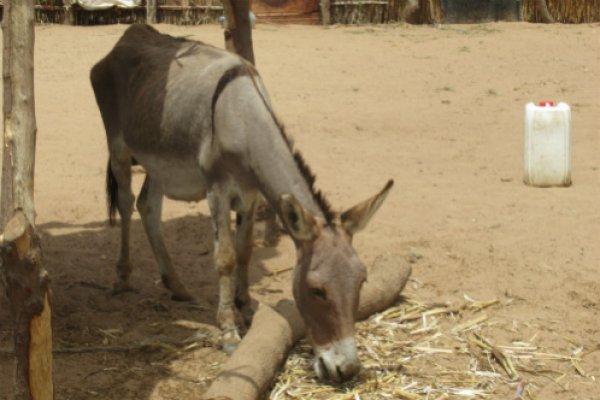 Malnourished donkey in Senegal