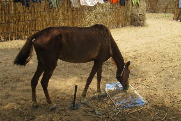 Horse in Senegal