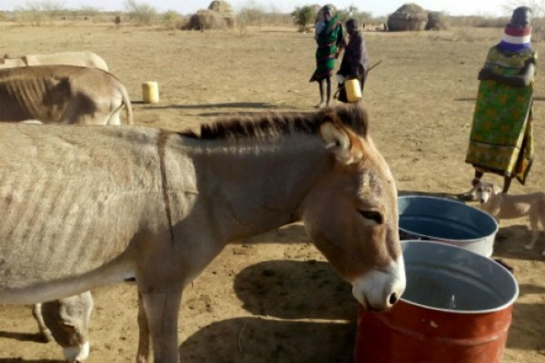 Dehydrated donkey drinks water during Kenya drought