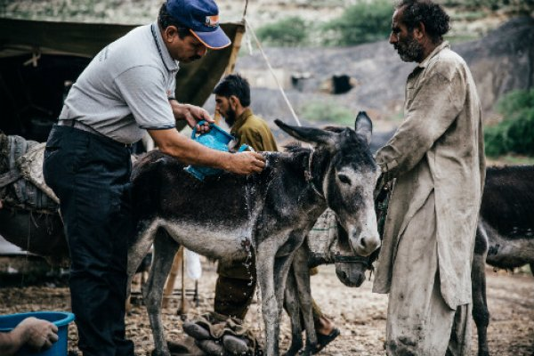 Brooke vet shows owner how best to treat his donkey in Pakistan