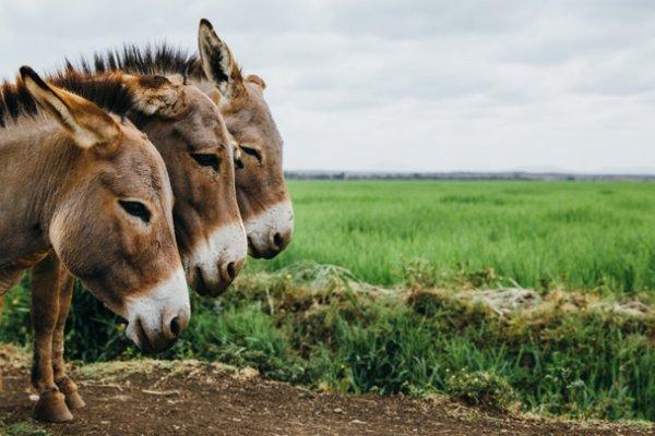 Donkeys in Kenya