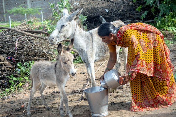giving water to a foal