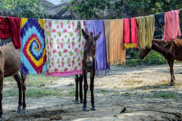 Mule in washing