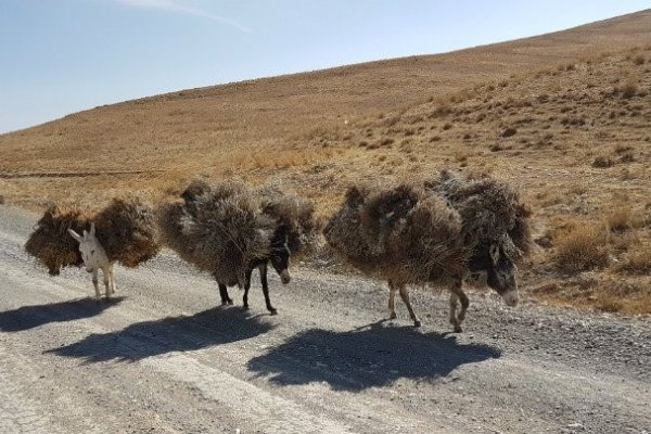 Donkeys carrying bundles of brushwood, Band-e-amir, Afghanistan