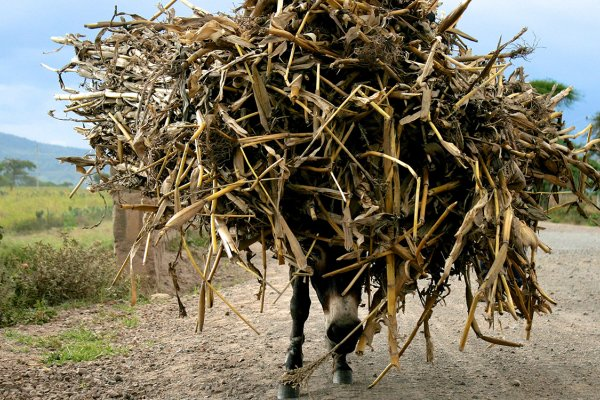 Donkey carrying fodder