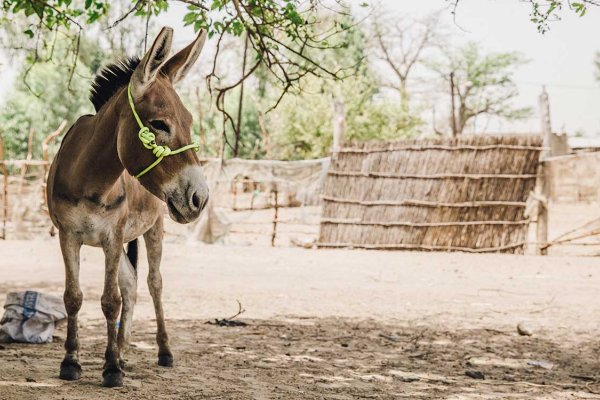 Donkey in Senegal