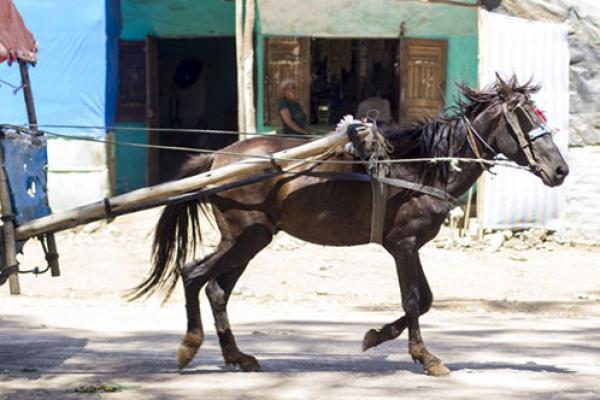 Gharry horse