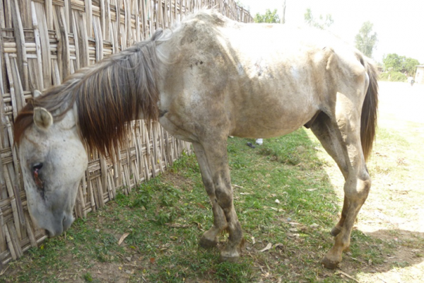 An older equine in Ethiopia