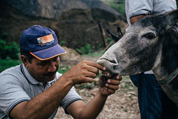 Vet treating a donkey
