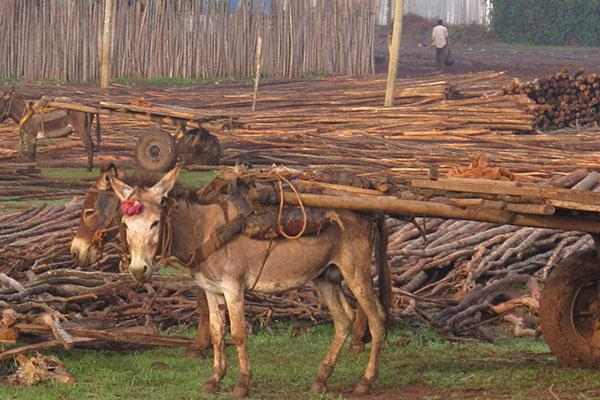 Donkeys transporting timber
