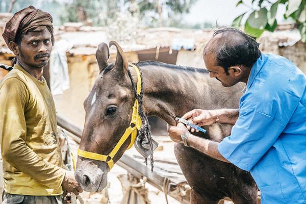 Vet with marwari horse
