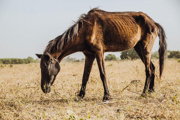 A thin horse grazing in Senegal