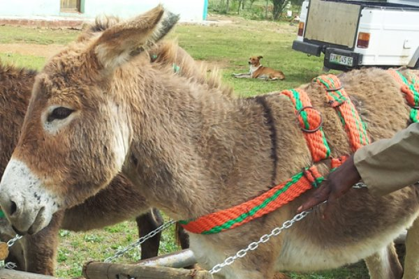 Donkey-friendly harness receives innovation funding | Brooke