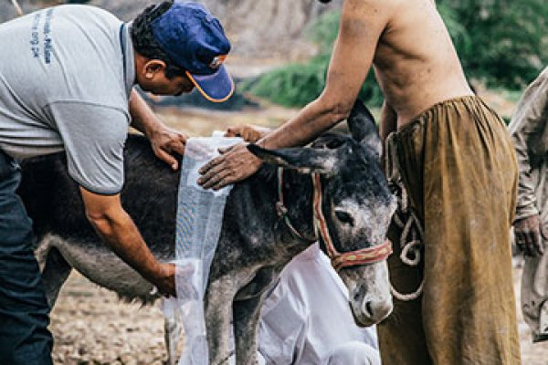 dressing a donkey's wounds