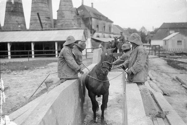 WWI horse skin disease treatment