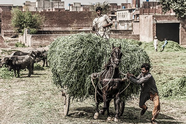 Donkey transporting food