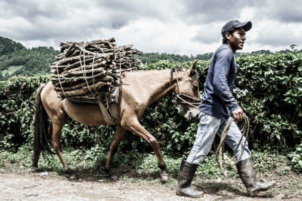 Equine carrying firewood - Guatemala