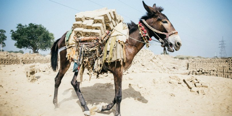 Donkey carries bricks in India