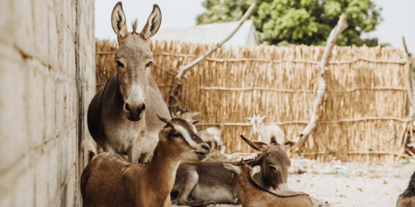 Donkey in yard with goats