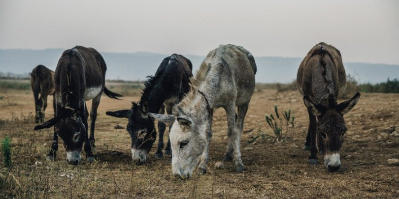 donkeys grazing in Pakistan