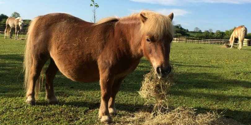 Mini Fat Pony
