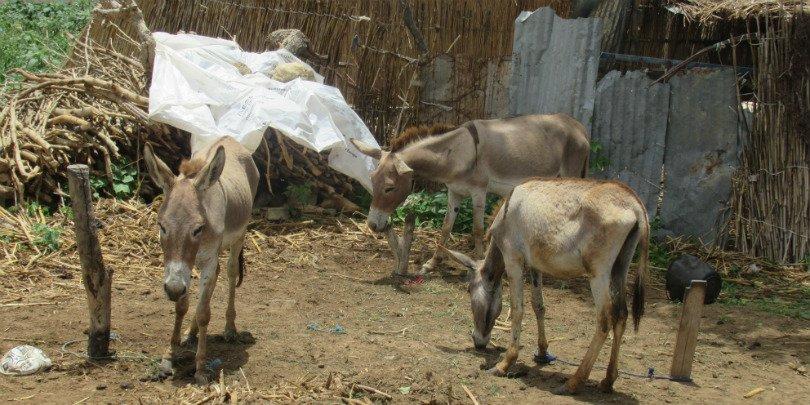 Malnourished donkeys in Senegal