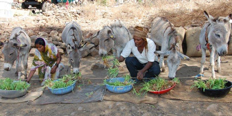 donkeys eating food - india