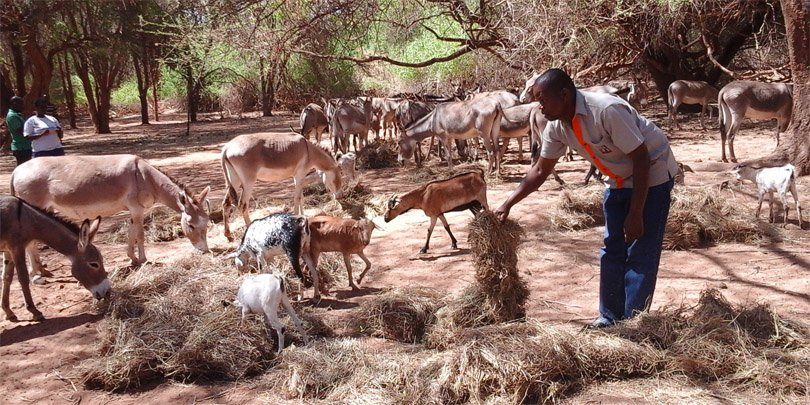 Brooke East Africa's James Kithuka spreads hay for donkeys to feed