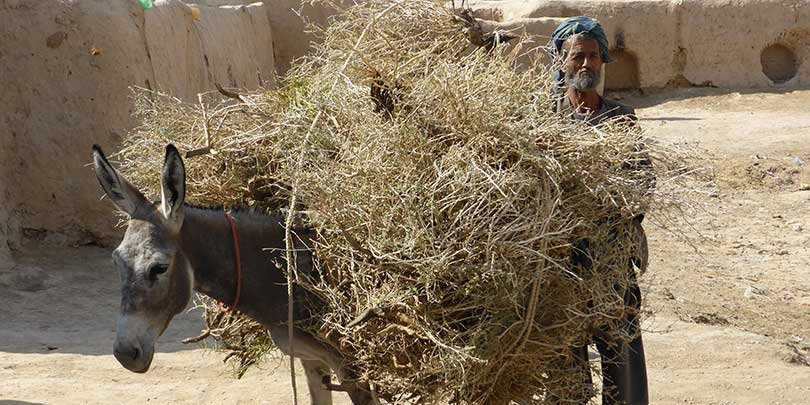 Working donkey carrying brushwood for fuel in Afghanistan