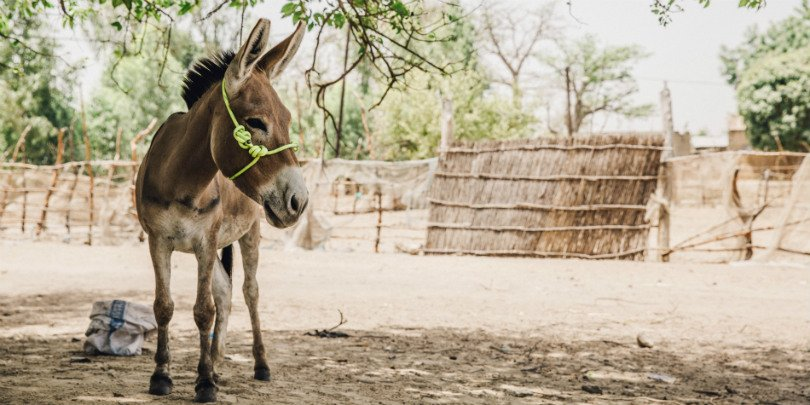Donkey in Senegal