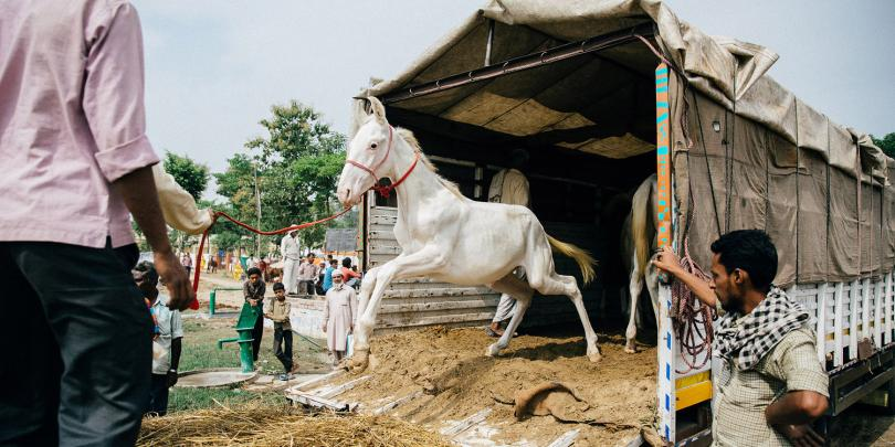 A horse leaving a trailer at the Dewa equine fair, India