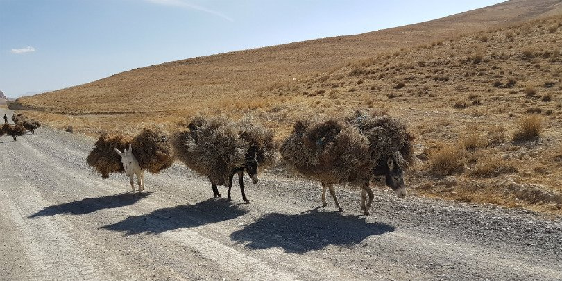 Donkeys carrying bundles of brushwood, Afghanistan