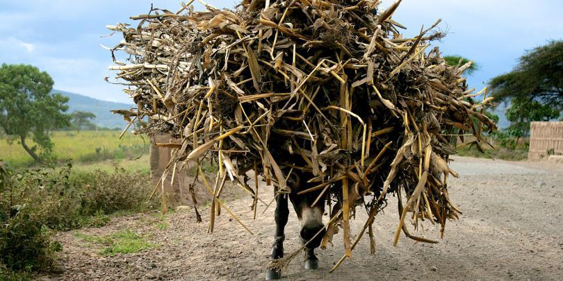 Donkey carrying fodder, Halaba, Ethiopia