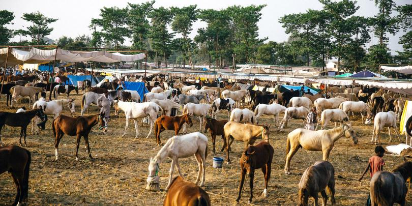 Animals grazing at an equine fair in India