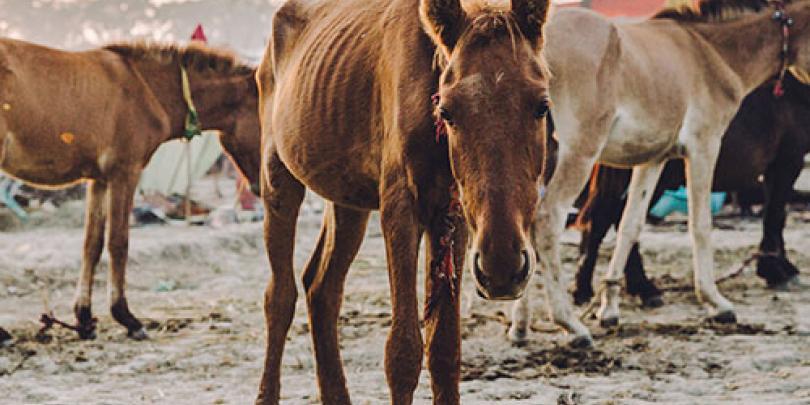 Horses at the Dewa equine fair in India