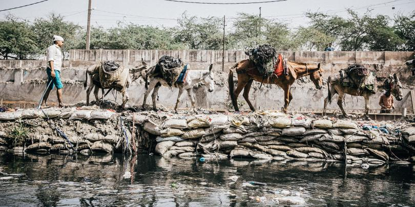 Equines walking along a polluted river in India