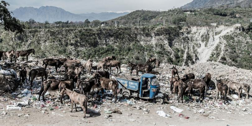 Equines at a rubbish tip near a shrine in Kashmir. Credit/Copyright - Richard Dunwoody MBE