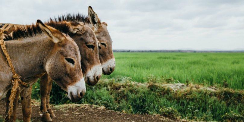 Three water carrying donkeys, Mwea, Kenya