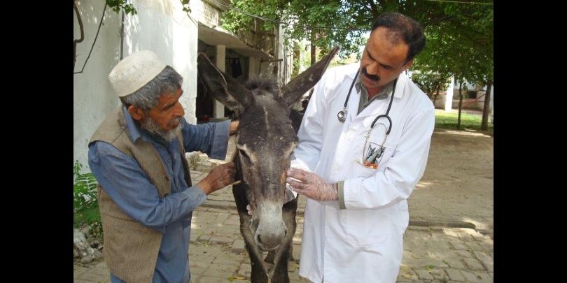 Veterinarian examining donkey eyes and advising owner