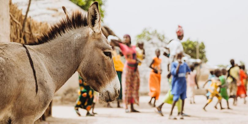 Donkey with children in Senegal